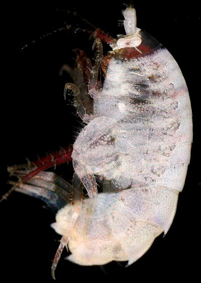 Mud Shrimp Sandhopper and Skeleton Shrimp Images Amphipoda UK