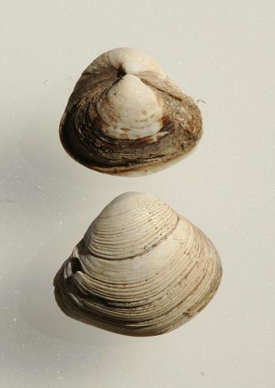 Marine Bivalve Images UK Gapers Piddocks and Shipworms Order Myida Myoida