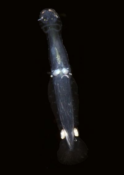 Arrow worms Chaetognatha images UK