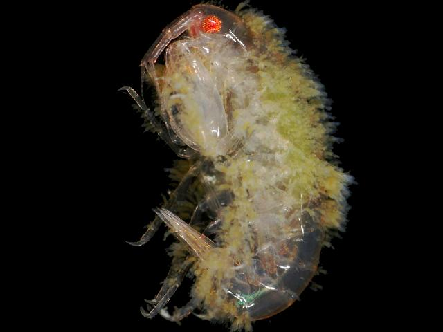 Suctorian ciliate Ophryodendron species on the amphipod Leucothoe sp. Suctoria Ciliophora images