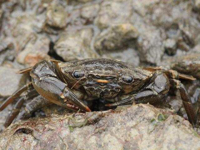 http://www.aphotomarine.com/images/crabs_lobsters/arch-fronted-swimming_crab_liocarcinus_navigator_28-02-13_9.jpg