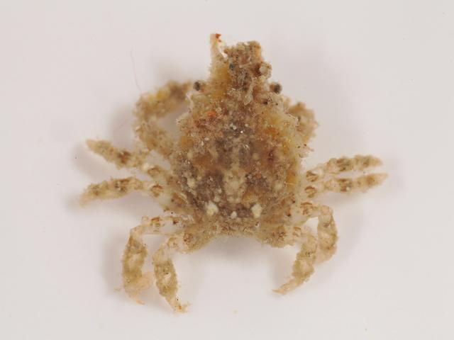 Eurynome aspera Strawberry spider crab Crustacean Images