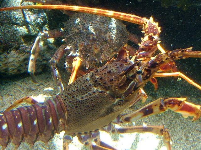 Lobster Underwater Palinurus eleph...