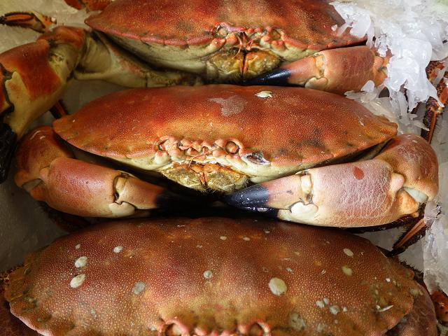 Cancer pagurus - Edible or Great crab (Crustacean images)