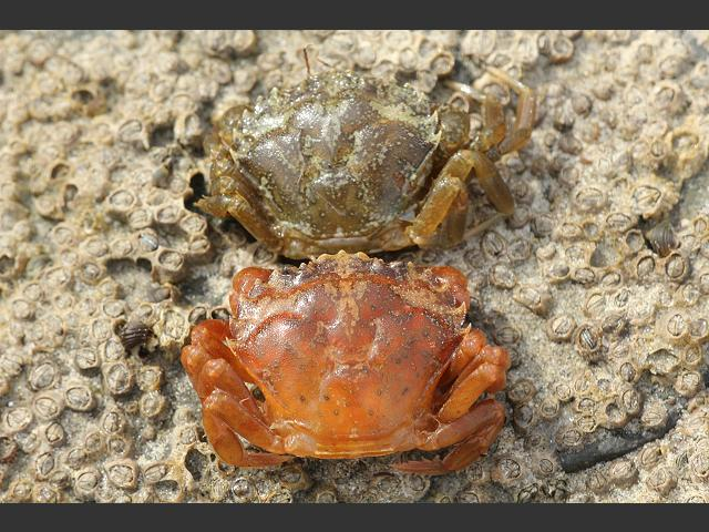 Image result for softback crab