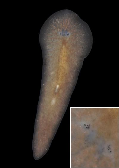 Marine Flatworms Platyhelminthes UK