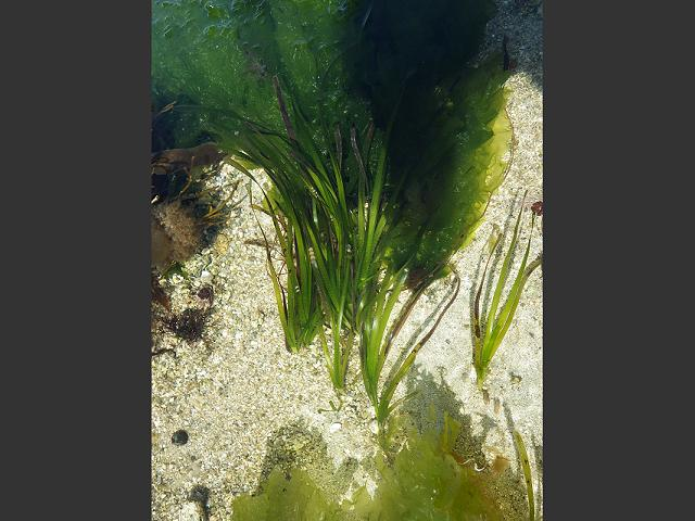 Labyrinthula Zosterae Wasting Disease Of Seagrass