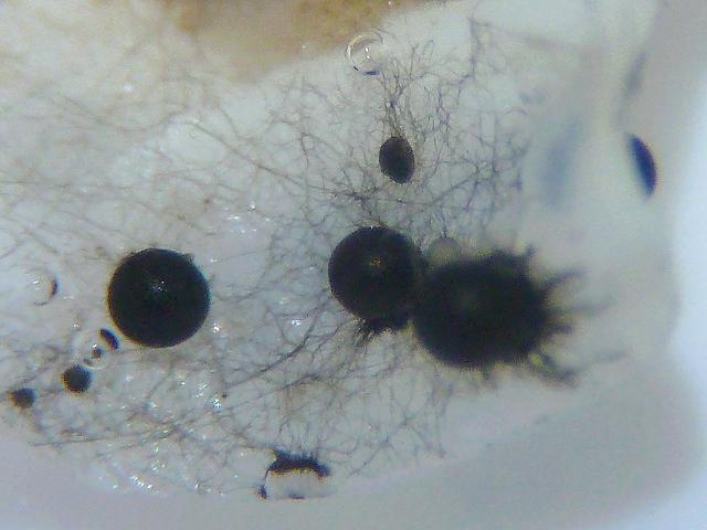 corollospora maritima marine sac fungus marine fungi