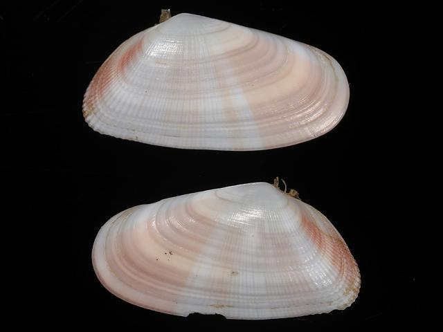 Donax variabilis Say, 1822 - Coquina clam (Marine bivalve ...