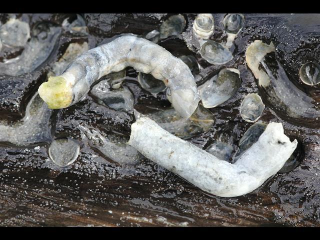 shipworms teredinidae general images habitat tubes