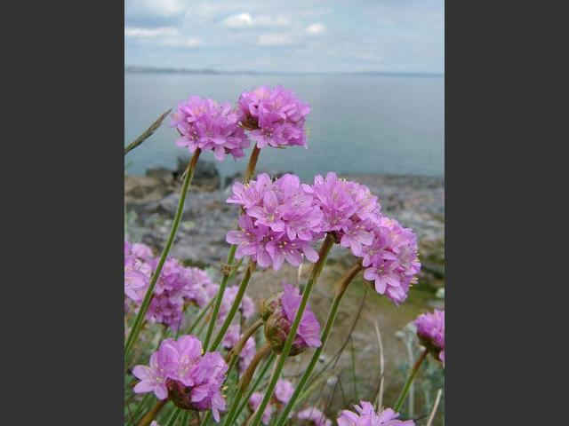 Aphotomarine armeria maritima sea pink or thrift marine plant sea pink thrift armeria maritima flowers 1 mightylinksfo