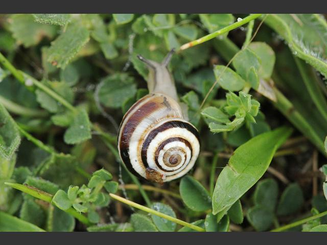 Cernuella Virgata Da Costa 1778 Striped Snail Land