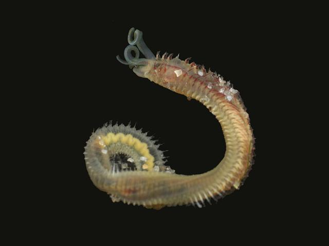 proboscidea boccardia proboscidea hartman 1940 a non native spionid worm