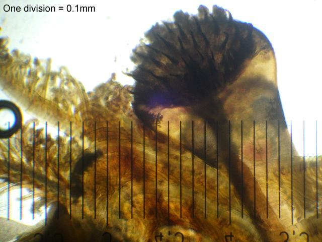 Ficopomatus enigmaticus - Trumpet tube worm (Marine worm images)