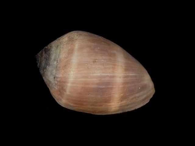Coffee Bean Snail