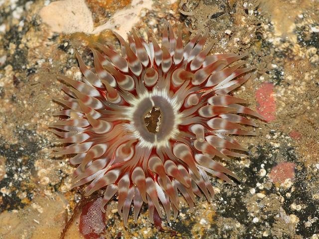 http://www.aphotomarine.com/images/sea_anemones/dahlia_anemone_urticina_felina_09-10-10_1.jpg