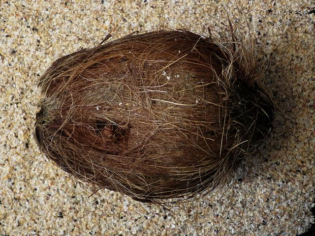 Cocos nucifera - Coconut Palm (Sea Bean and Seed Images)