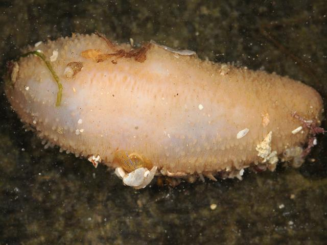 Thyone roscovita Sea Cucumber Holothurian Images