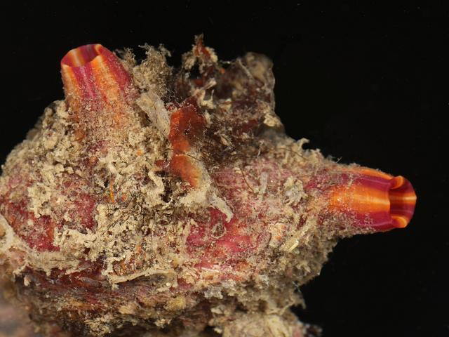 Microcosmus claudicans sea squirt Tunicate Images