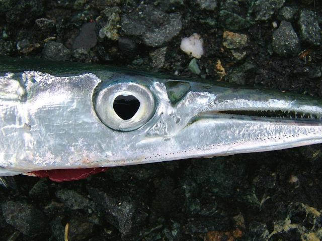 Belone belone Gar or Garfish Seafish Images