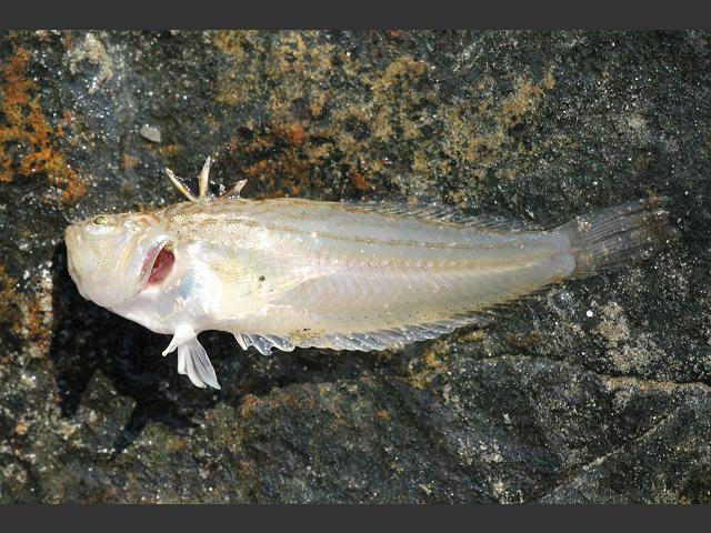 http://www.aphotomarine.com/images/seafish/seafish_lesser_weaverfish_echiichthys_vipera_27-03-12_4.jpg