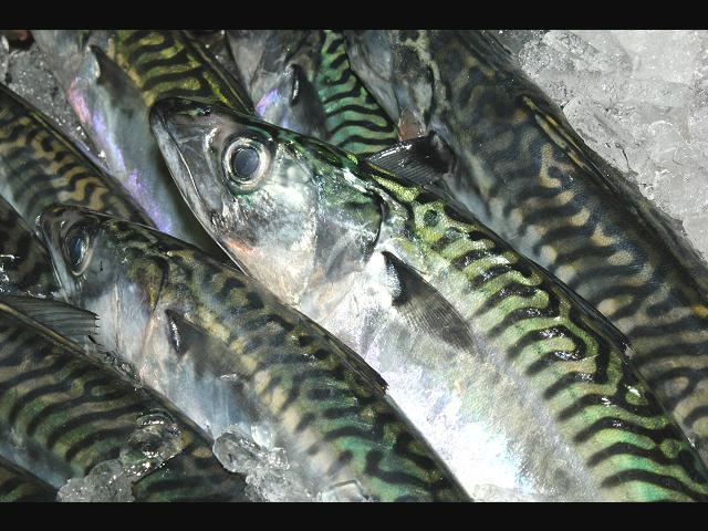 Skuša (Scomber scombrus) Seafish_mackerel_scombrus_scombrus_display_29-08-11_1