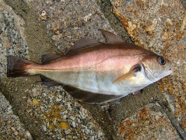 Trisopterus luscus Bib Pout Pouting or Pout whiting Seafish Images
