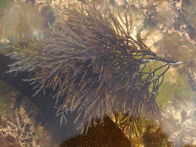 Cystoseira nodicaulis Brown Seaweed Images