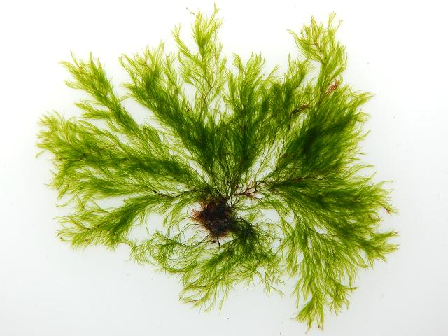 Cladophora sericea Silky Green Branched Weed seaweed images