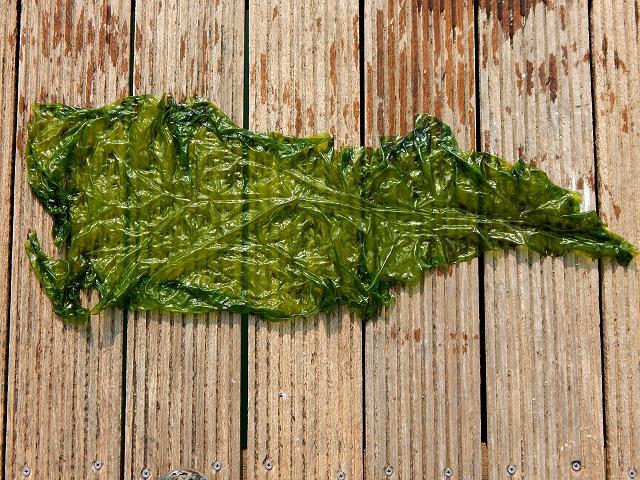 Ulva rigida C.Agardh, 1823 ? - A Green seaweed (Green ...  Ulva rigida C.A...