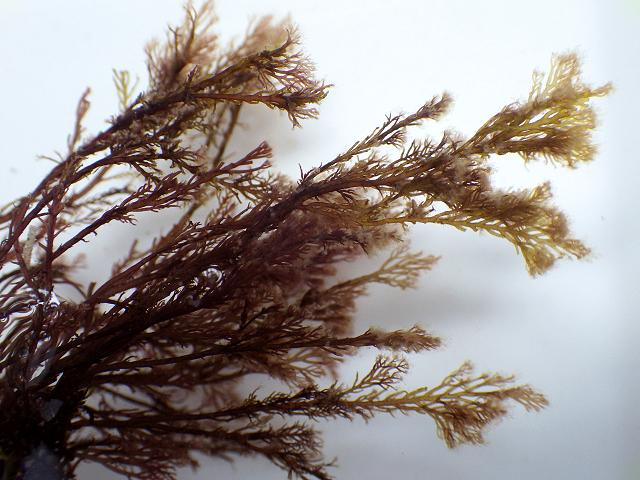 Vertebrata thuyoides Boergeseniella Tufted Conifer Weed Red Seaweed Images