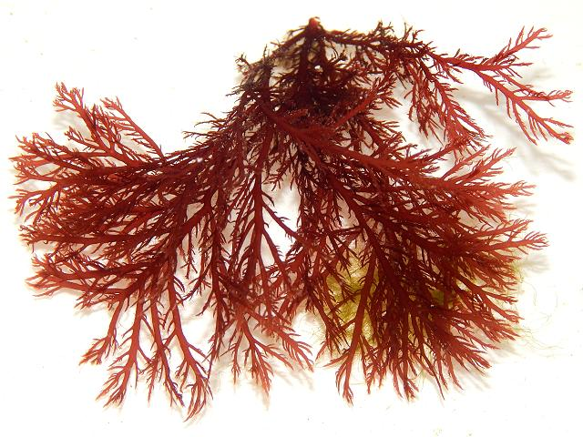 Pikea californica Captain Pike's Golden Gate Weed non native algae uk Red Seaweed Images