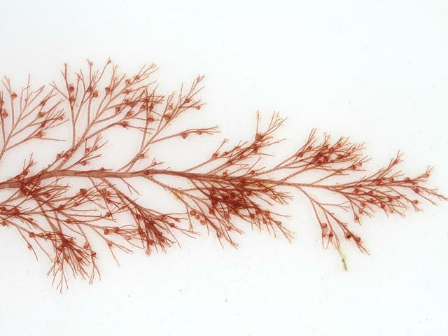 Polysiphonia brodiei Brodies Siphon Weed Red Seaweed Images