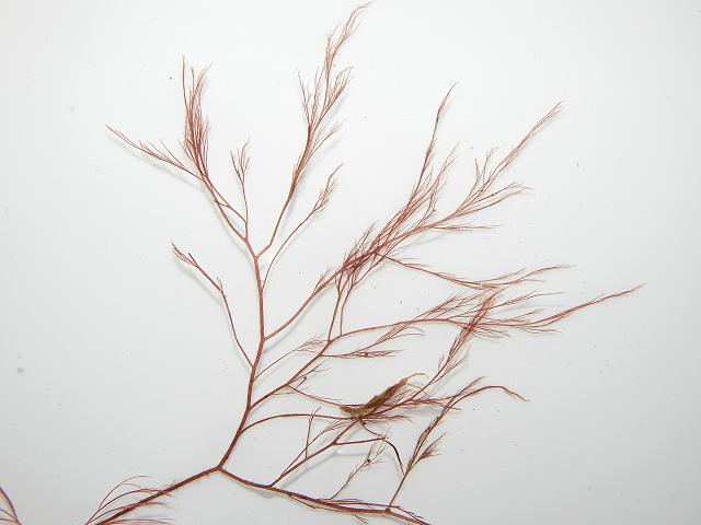 Polysiphonia denudata Wide branched Siphon Weed Red Seaweed Images