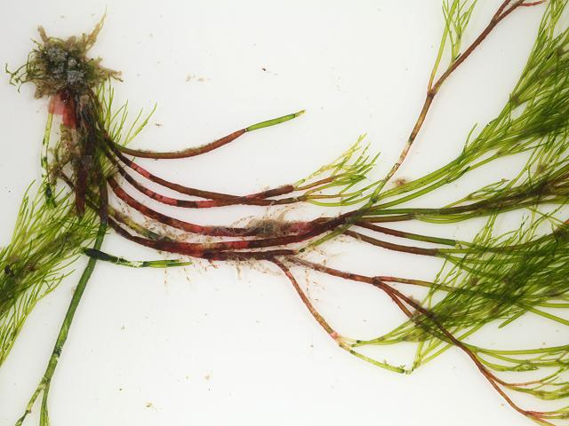 Schmitziella endophloea An endophytic algae of Cladophora pellucida Red Seaweed images
