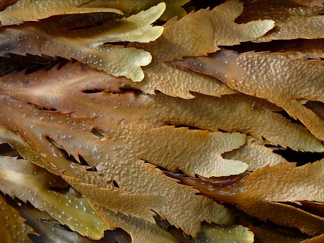 Fucus serratus Serrated Saw edged or Toothed Wrack reproduction Brown seaweed images