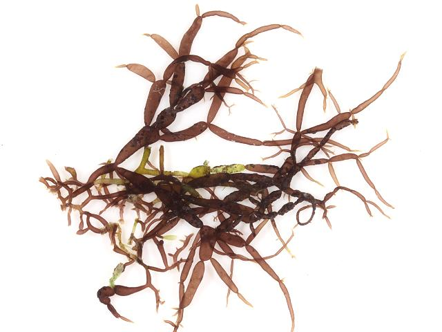 Catenella caespitosa Creeping chain weed Red seaweed images