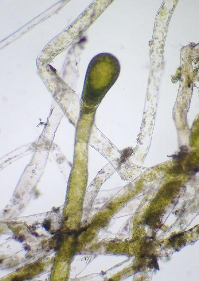 Yellow green algae images xanthophyceae vaucheriales vaucheriaceae UK