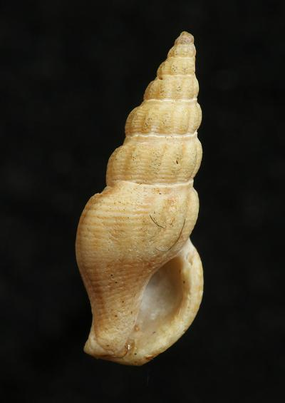 Raphitomas and other Whelks Superfamily Conoidea Marine Snail Images UK Gastropoda