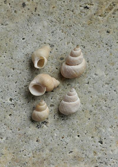 Periwinkles and Chink shells Superfamily Littorinoidea Marine Snail Images UK Gastropoda