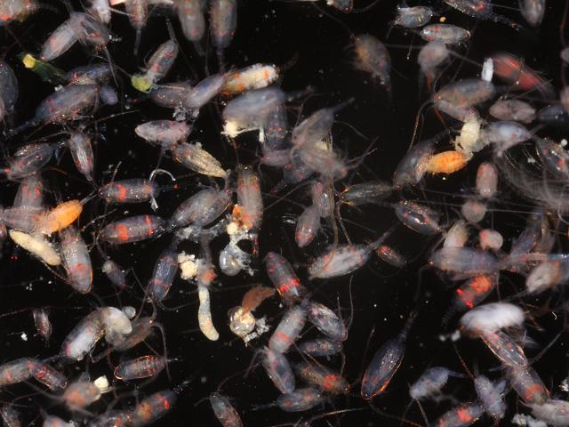 Zooplankton - mainly copepods and annelids, Battery Rocks ...